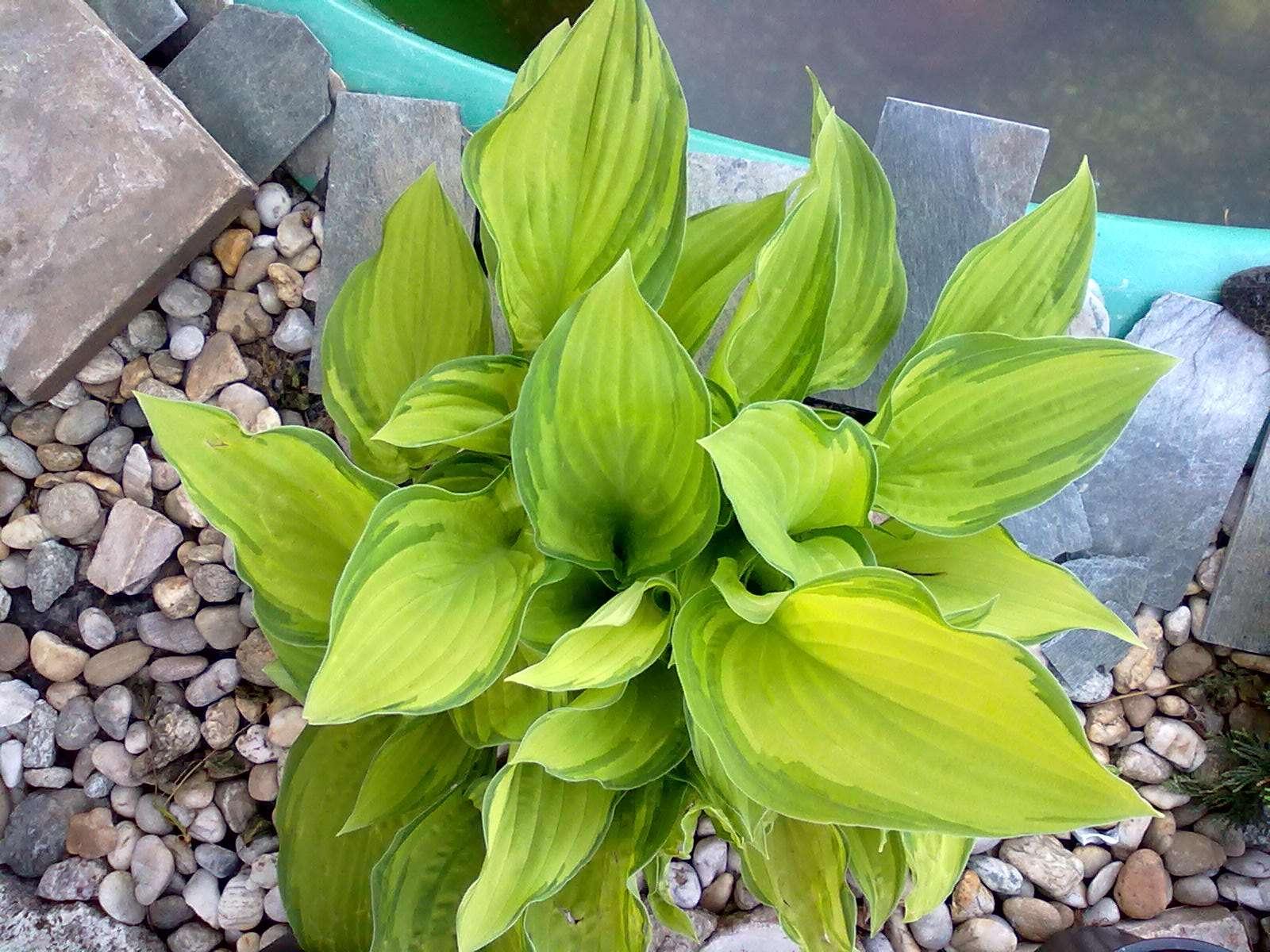 Hosta so zeleno-žltými listami - Obrázok č. 1