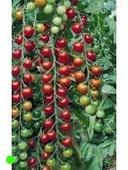 Paradajka Cherry Supersweet 100- semená,