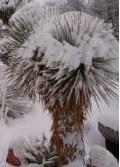 Yucca rostrata - mrazuvzdorná (semená) - Obrázok č. 1