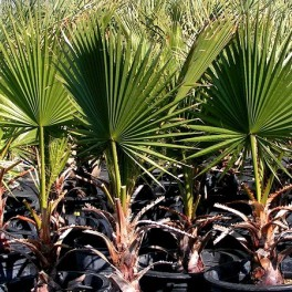 Washingtonia filifera - semená - Obrázok č. 1