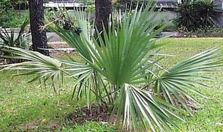 Sabal minor - mrazuvzdorná (semená) - Obrázok č. 1