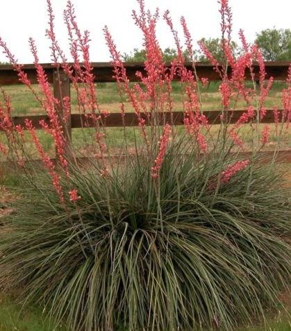 Red yucca - mrazuvzdorná (semená) - Obrázok č. 1
