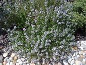 Thymus vulgaris (Dúška tymiánová) - semená,