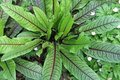 Štiav (Šťavel) - semená,