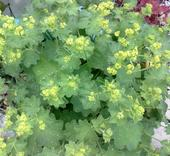Alchemilka - semená,