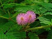 Mimosa pudica - semená,