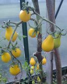 Paradajky Žltá hruška - semená,