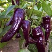 Marconi Purple - sladká paprika - semená,