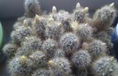 Mammillaria prolifera - sadeničky ,