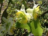 Passiflora biflora - sadeničky,