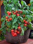 Paradajky - Red Robin - semená,