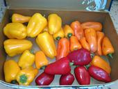 Sladká paprika - Hamík,