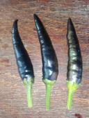Cayenne Purple - chilli - semená,