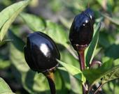 Chilli Black olive - semená,