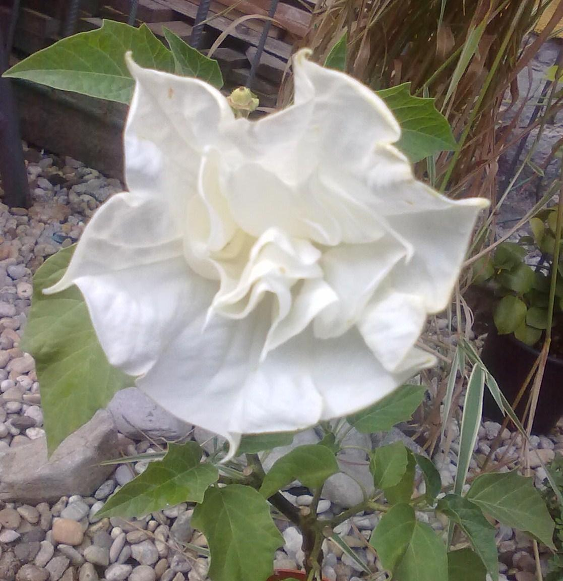 Datura Double White - semená - Obrázok č. 1