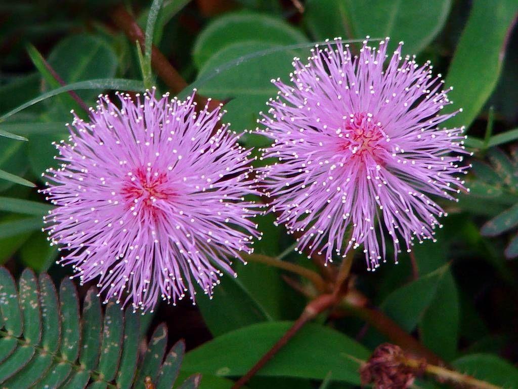 Mimosa pudica - semená - Obrázok č. 1