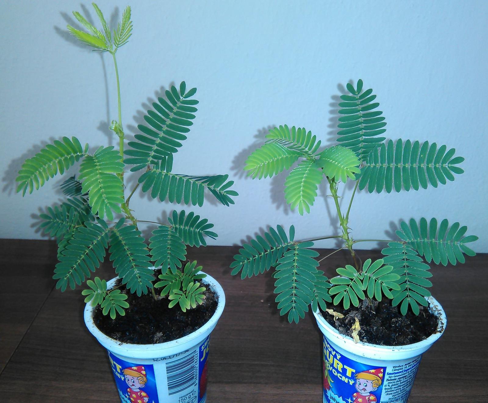 Mimosa pudica - semená - Obrázok č. 2