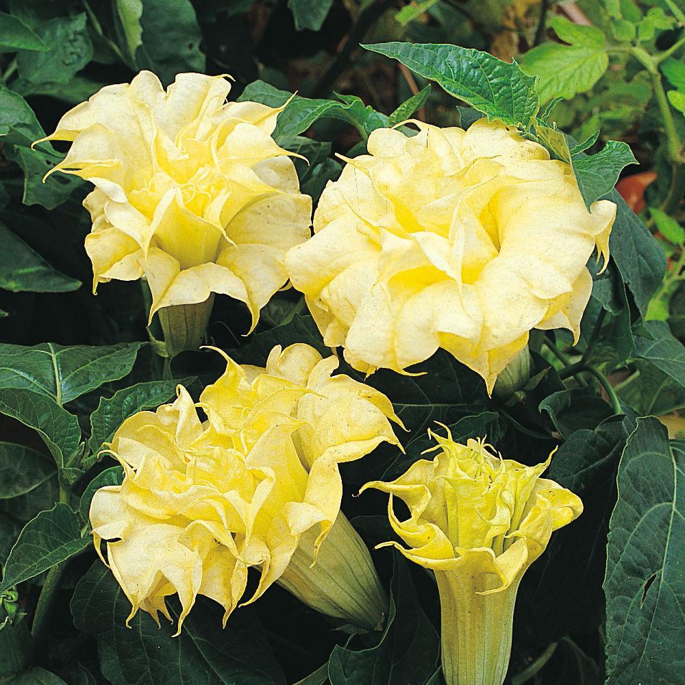 Datura Double Golden Queen Frilled - semená  - Obrázok č. 1