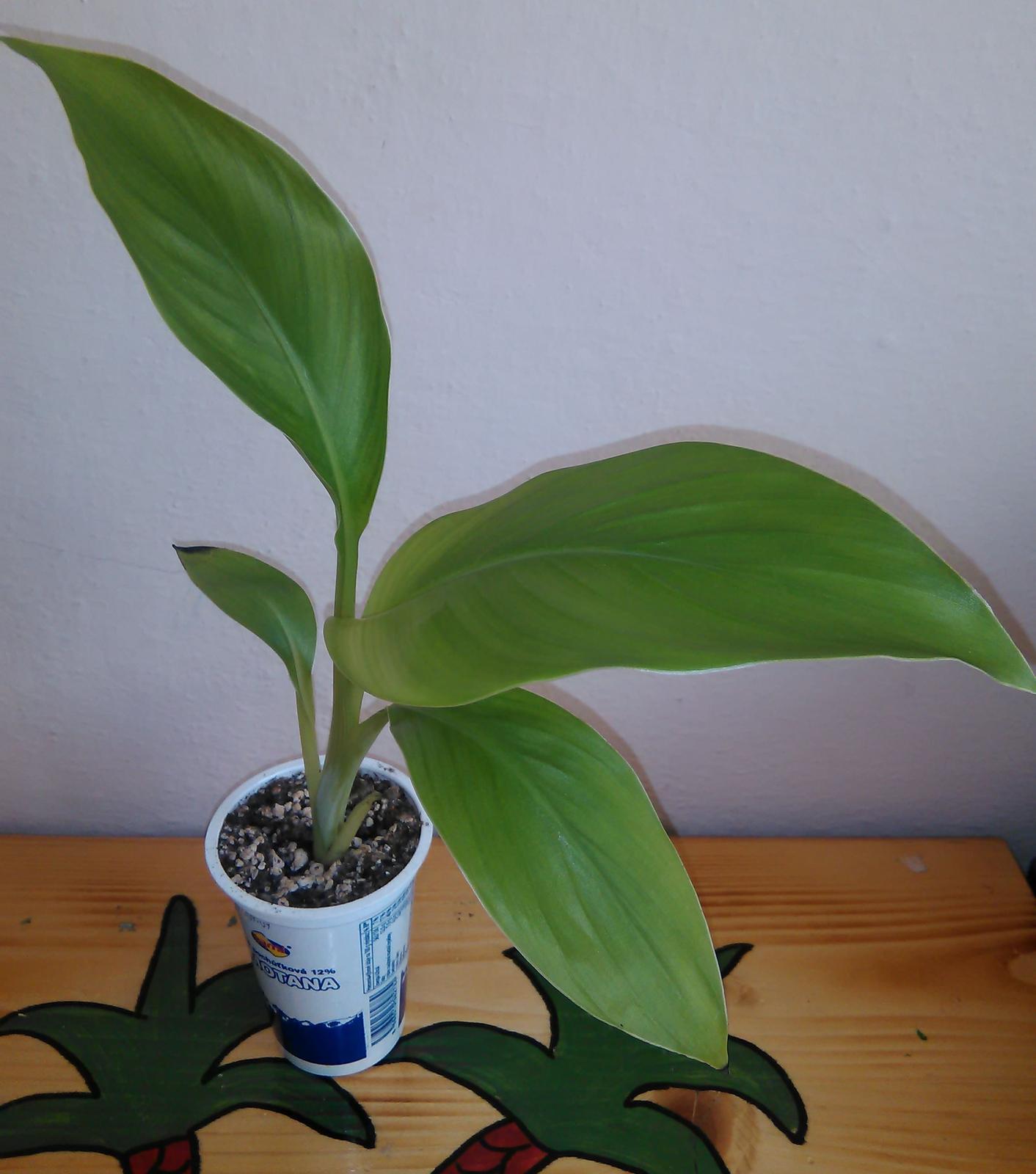 Banánovník Ensete ventricosum (semená) - Obrázok č. 3