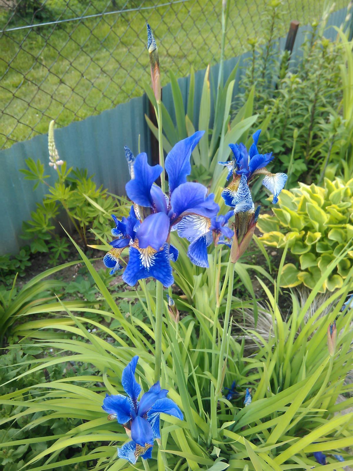 Iris - sadeničky - Obrázok č. 1