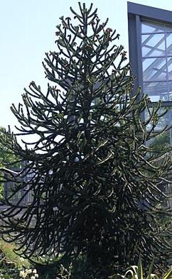 Araucaria araucana - Obrázok č. 1