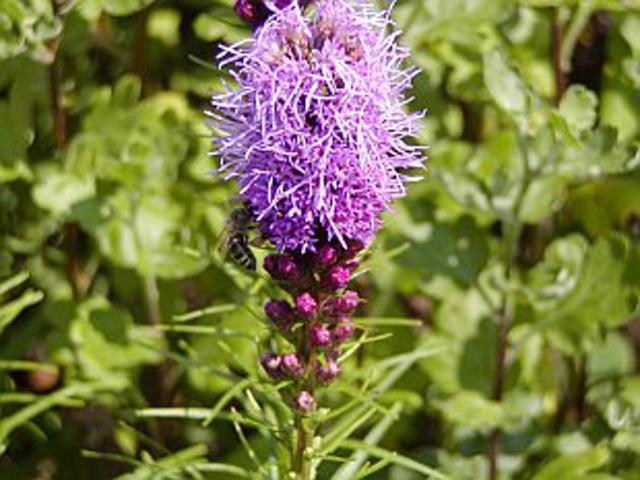 Liatris spicata fialová - Obrázok č. 1