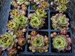 Skalné ruže - sadeničky,