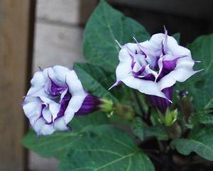 Datura Double Purple Queen - sadeničky - Obrázok č. 1