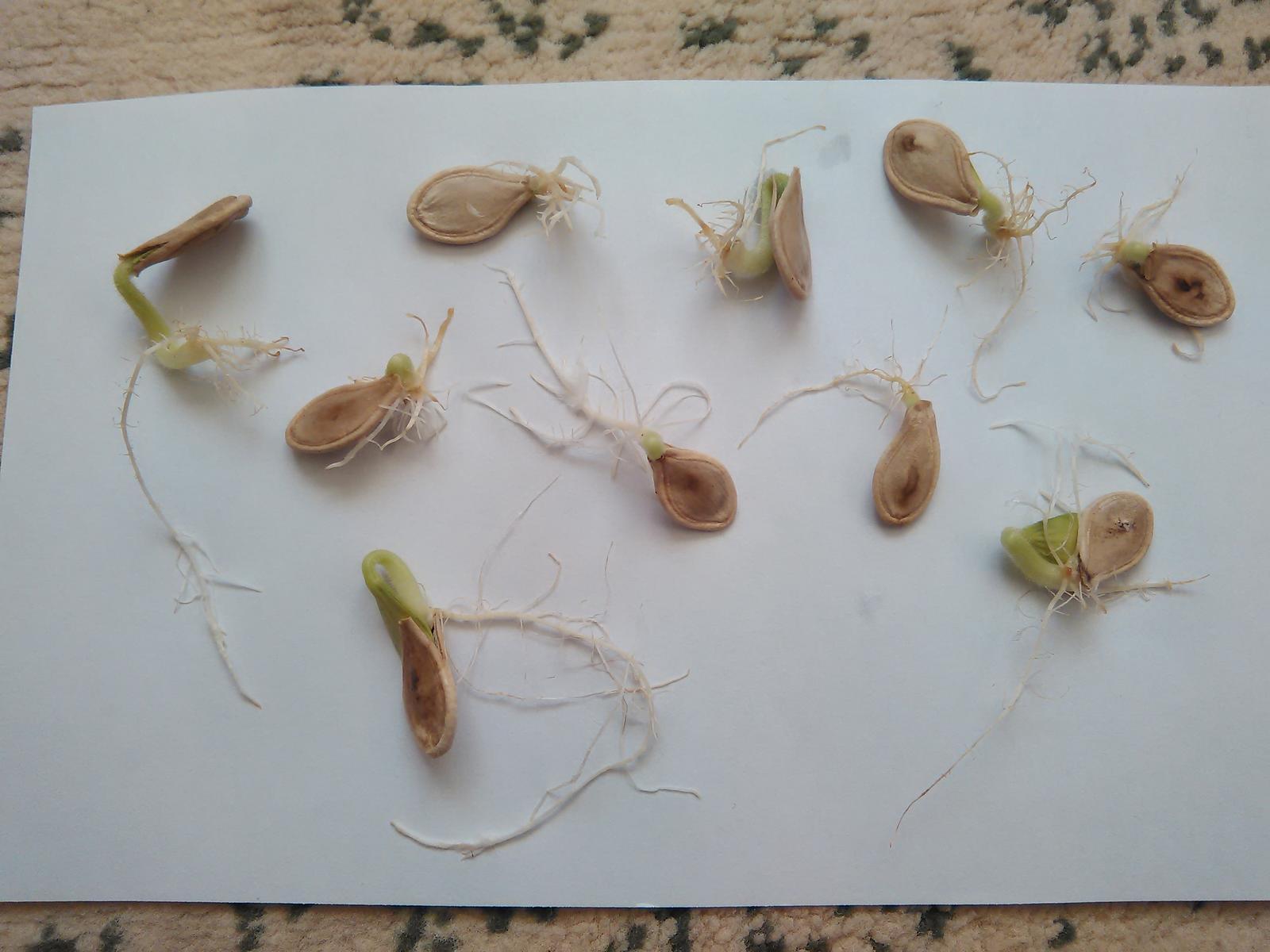 Veľkoplodá tekvica - semená - Obrázok č. 4