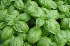 Bazalka - semená - Obrázok č. 1