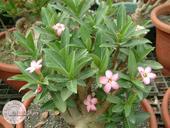 Adenium arabicum - semená,