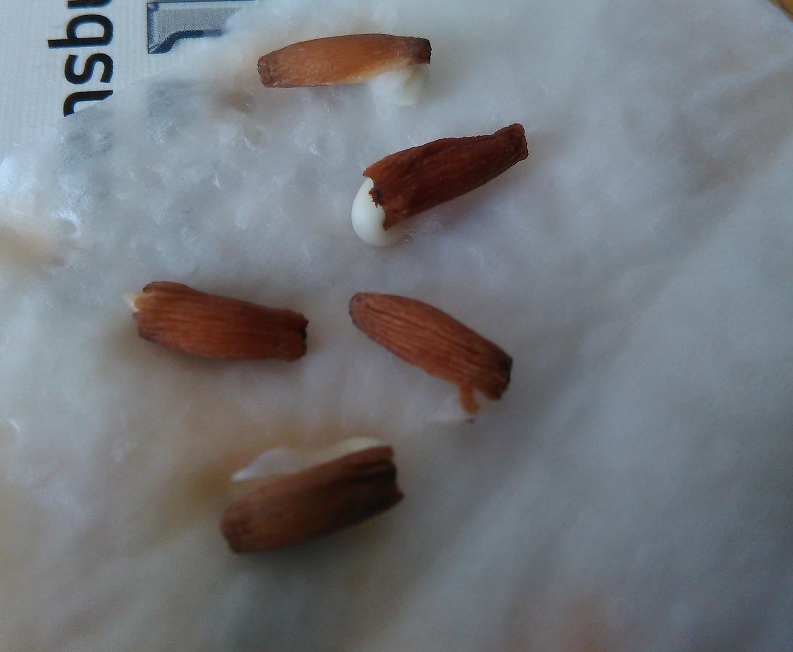 Adenium arabicum - semená - Obrázok č. 1