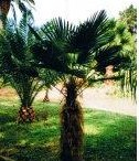 Trachycarpus wagnerianus - semená - Obrázok č. 1