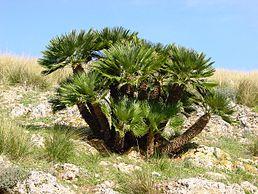 Chamaerops humilis - semená - Obrázok č. 1