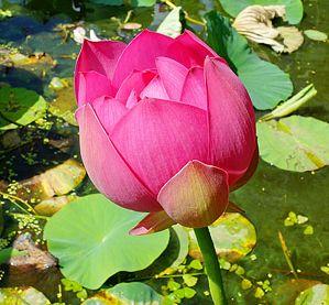Lotos indický - semená - Obrázok č. 1