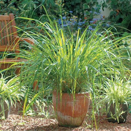 Citrónová tráva - semená - Obrázok č. 1