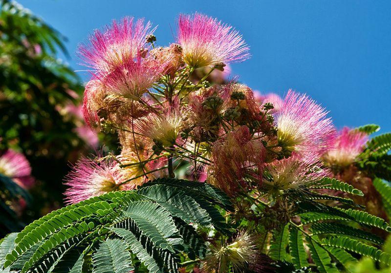 Albizia julibrissin - semená - Obrázok č. 1