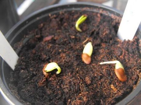 Albizia julibrissin - semená - Obrázok č. 2