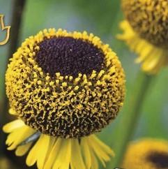 Helenium Lollipop - Obrázok č. 1