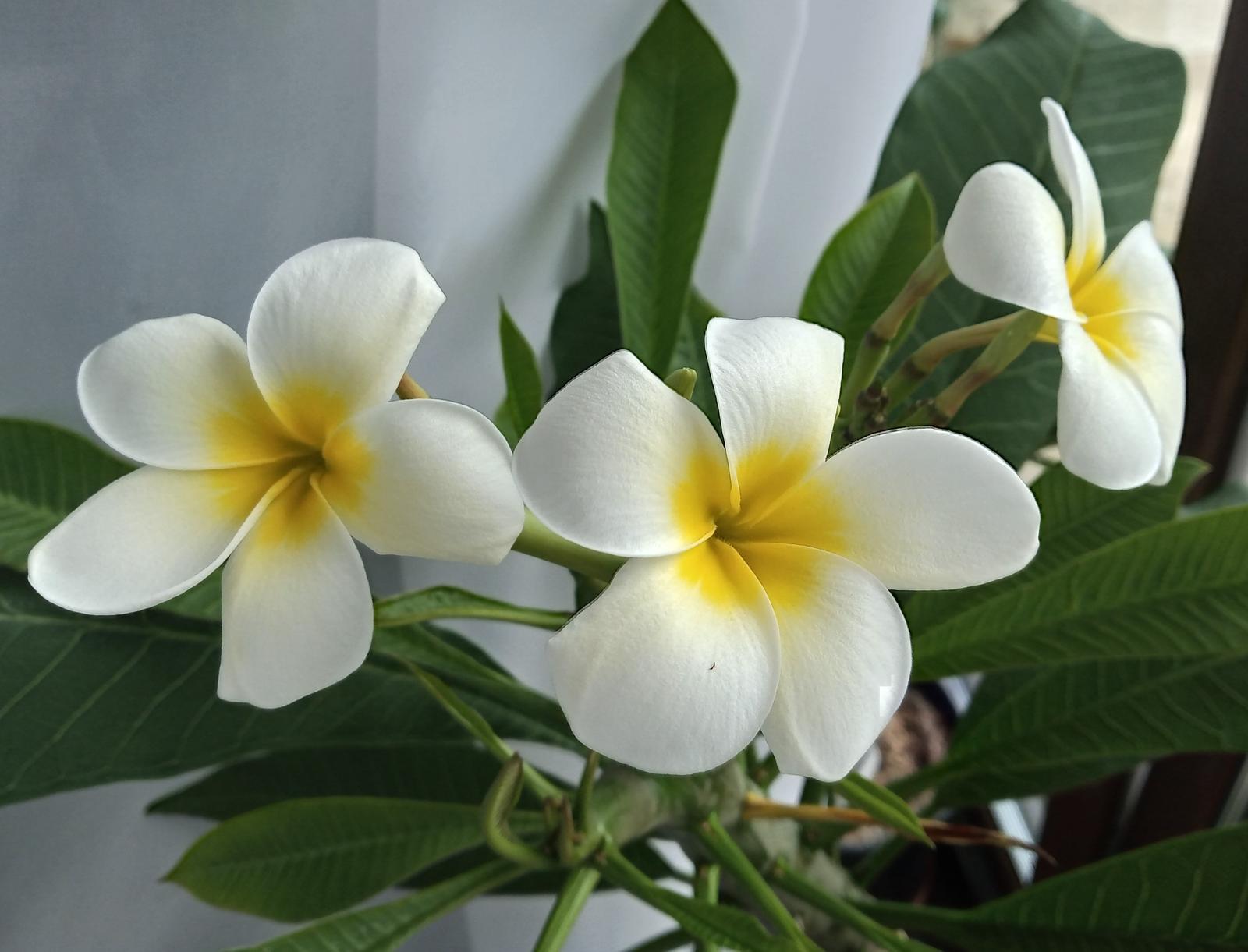 Pluméria - rastliny - Obrázok č. 1