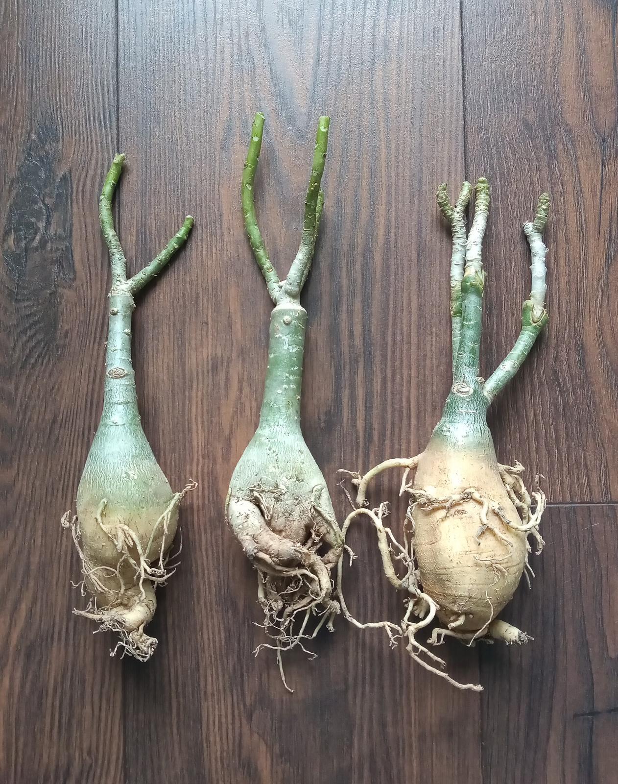 Adenium obesum - vrúbľované rastliny - Obrázok č. 1