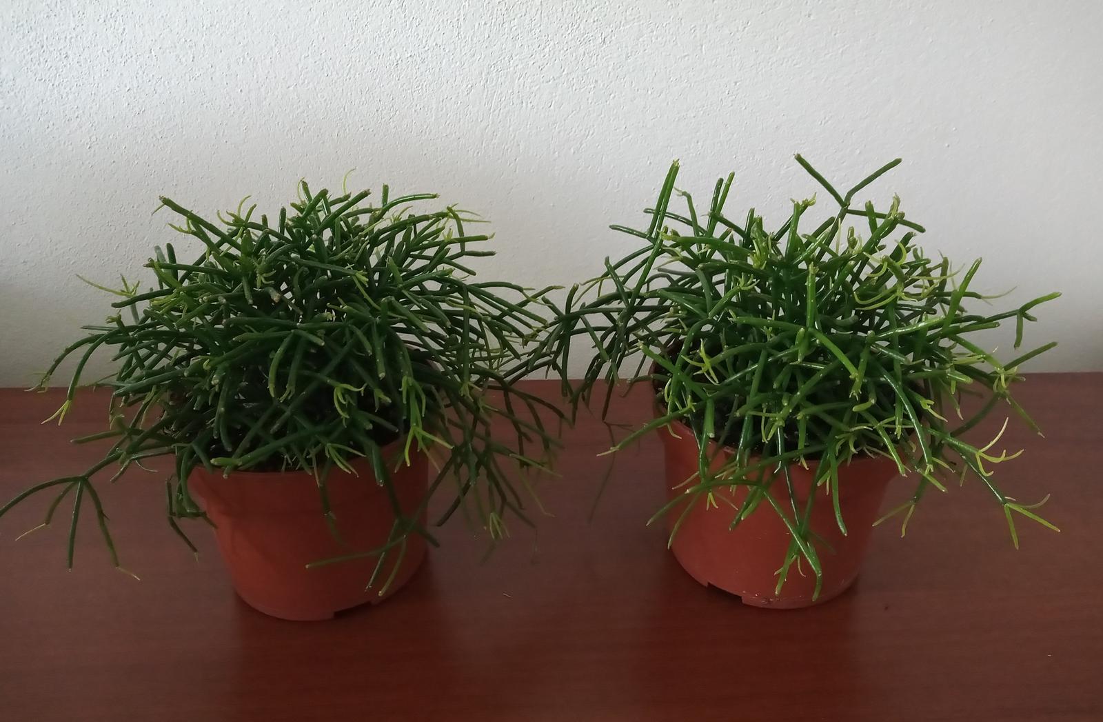 Rhipsalis cassutha - Obrázok č. 1
