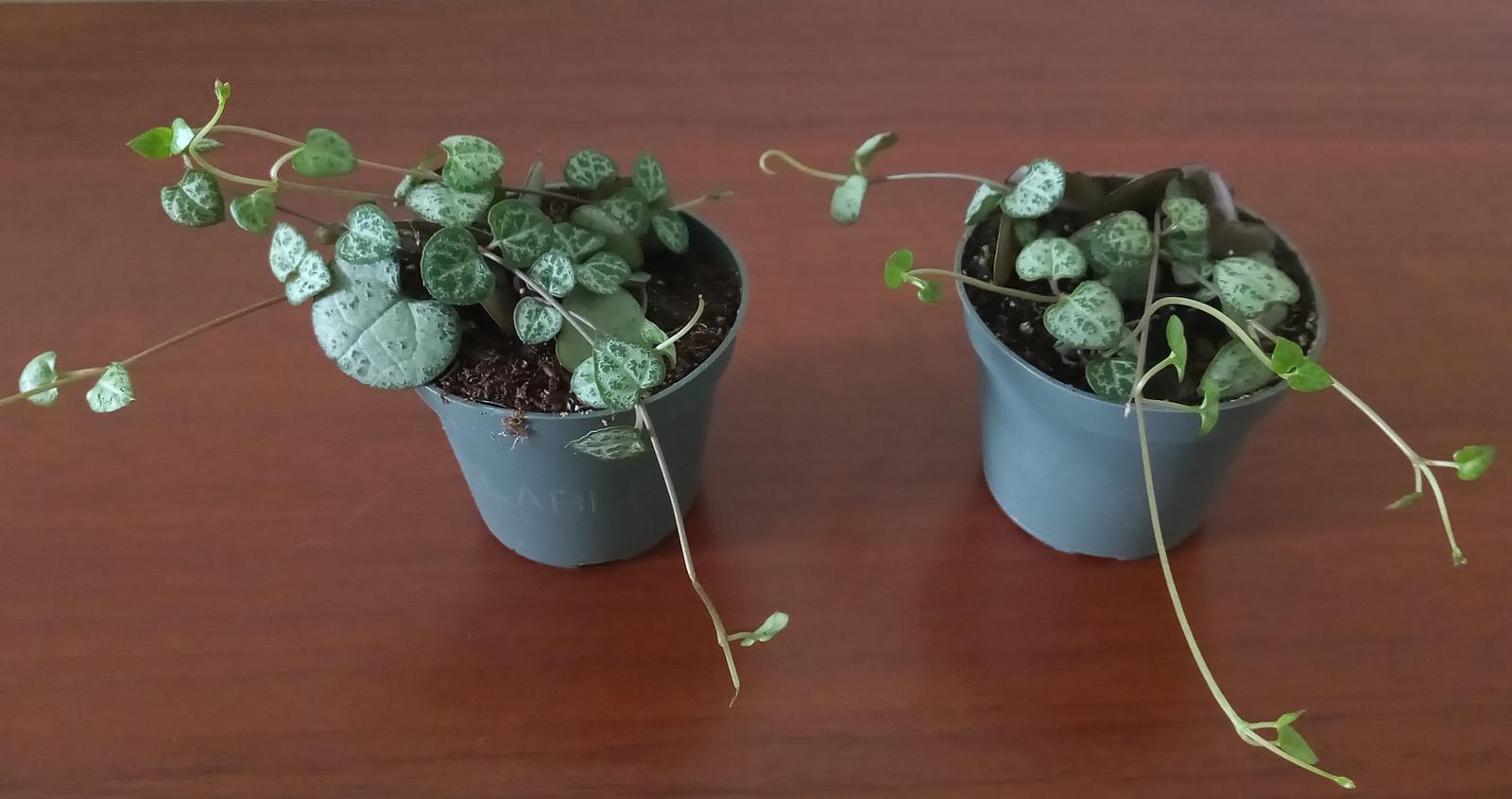 Ceropegia woodii ssp. woodii (Lampášik) - Obrázok č. 1