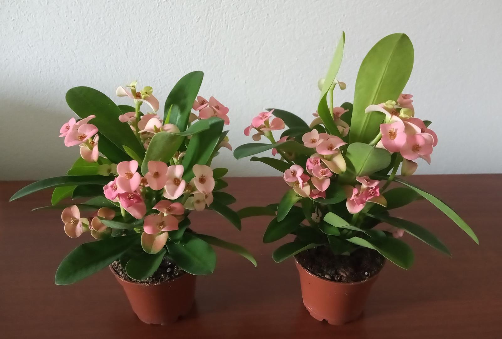 Euphorbia milli - Obrázok č. 2