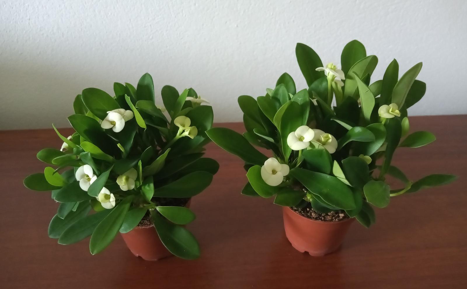 Euphorbia milli - Obrázok č. 3