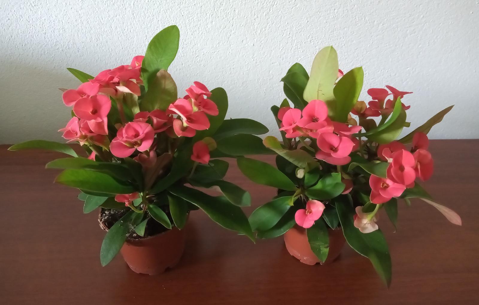 Euphorbia milli - Obrázok č. 1