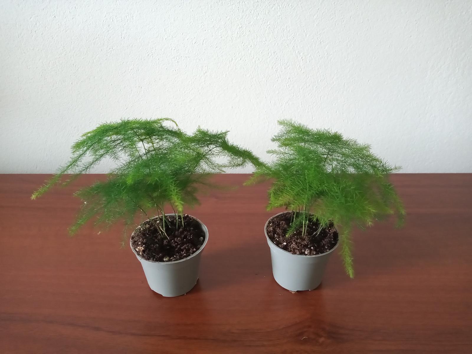 """Asparagus setaceus """"Plumosus"""" - Obrázok č. 1"""