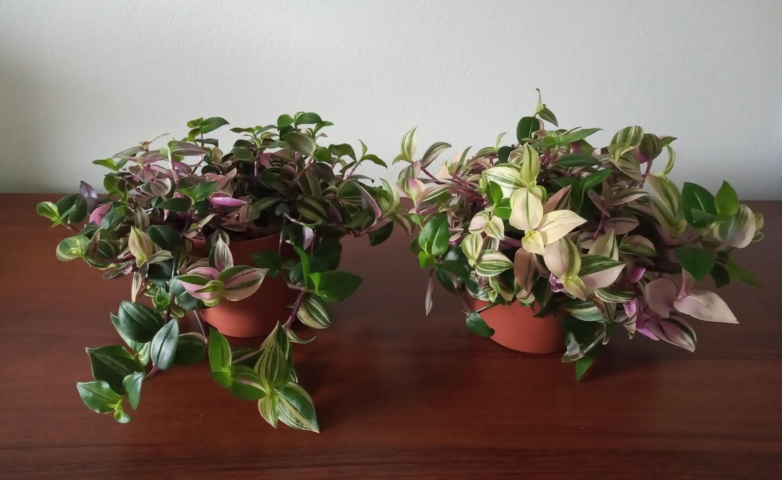 """Tradescantia fluminensis """"Quadricolor"""" - Obrázok č. 1"""