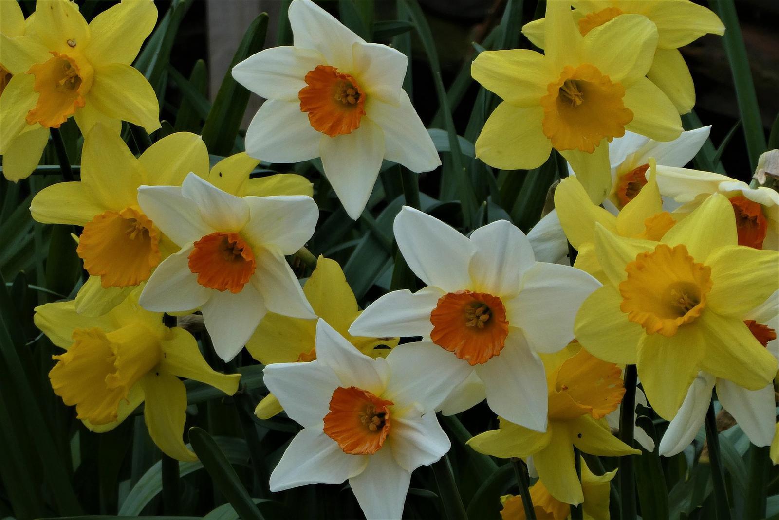 Narcisy  cibuľky - Obrázok č. 1