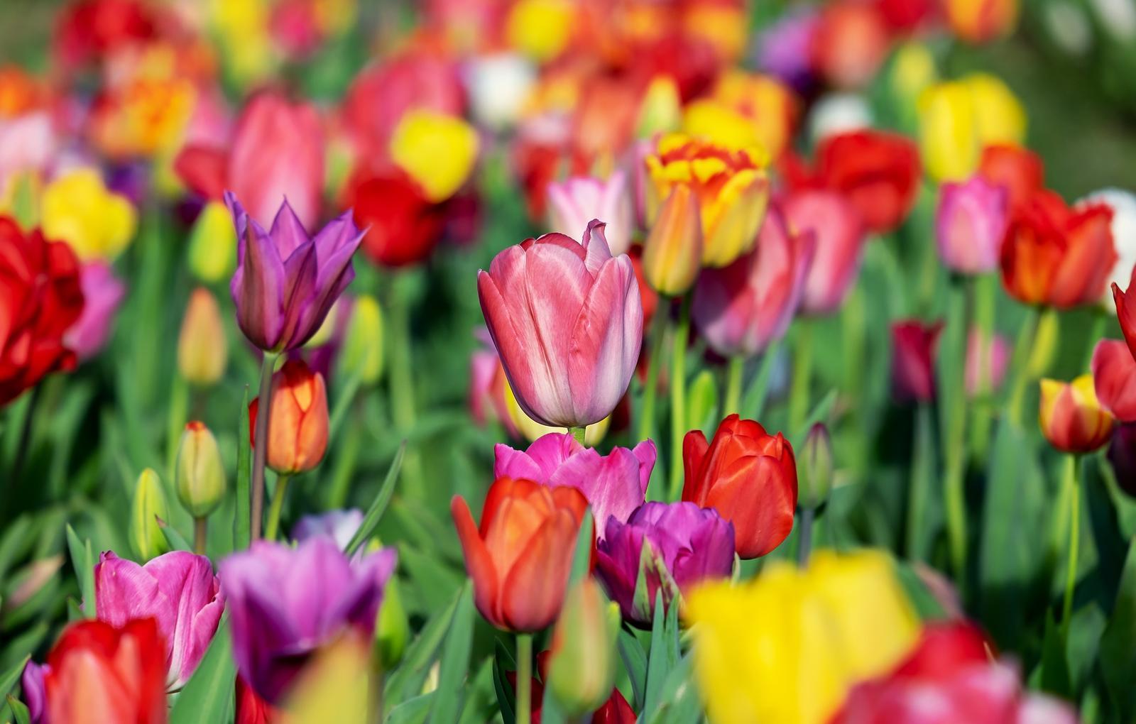 Tulipány - cibuľky - Obrázok č. 1